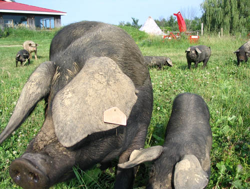 Click on the photo to check out Upper Canada Heritage Meat.